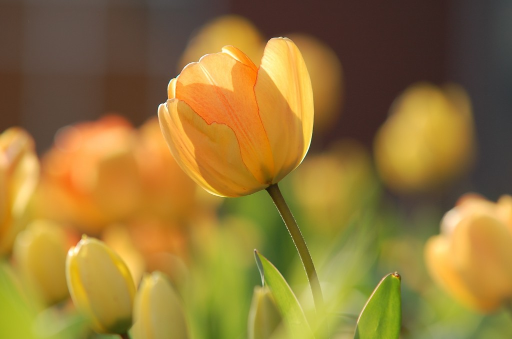Tulips - Spring Date Ideas
